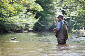 Fly fishing, Capture of a Brown trout (Salmo trutta fario), Thur river, Haut-Rhin, Alsace, France