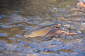 Brown trout (Salmo trutta fario), spawning, Haut-Rhin, Alsace, France
