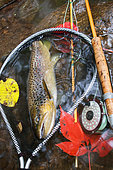 Brown trout (Salmo trutta fario), Fly fishing, Wild trout caught in fishing, Haut-Rhin, Alsace, France