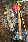 Brown trout (Salmo trutta fario), Fly fishing, Wild trout caught in fishing, Haut-Rhin, Alsace, France