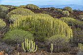 Canary spurge (Euphorbia canariensis) on the island of Ten. Succulent candelabra-shaped shrub, symbol of the Canary Islands - Malpais de Guimar - Tenerife - Canary Islands