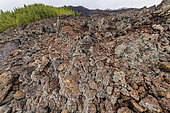 Lichens on recent basalts on the island of Tenerife (Canary Islands). Lavender lichen (Stereocaulon vulcani): pioneer lichen running on recent basalts - Basaltic flows of Chinyero, dating from 1909, on the slopes of Teide, on the island of Tenerife