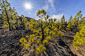 Canary pines on the island of Tenerife (Canary Islands). Canary Island pine (Pinus canariensis) is a magnificent endemic species of the archipelago, very resistant to fire and colonizing bare volcanic soils, like here basalt flowsof Teide, on island of tenerife