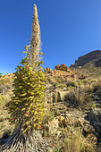 Tower of Jewels (Echium wildpretii) after flowering, on the slopes of Teide, in the Canaries. This biennial, endemic and spectacular plant, which can reach 2 meters in height, is the symbol of the Teide National Park, on the island of Tenerife, in the Canaries