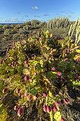 Euphorbe des Canaries (Euphorbia canariensis) et figuiers de Barbarie en fruits sur l'ile de Tenerife. Ecosystème aride au sol volcanique - Parque Rural de Teno - Tenerife - Canaries
