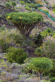 Dragon tree (Dracaena draco) on the island of Tenerife in the Canaries. The dragon tree is a very rare tree in the wild in the Canaries - critically endangered species - Anaga Peninsula - Tenerife - Canary Islands