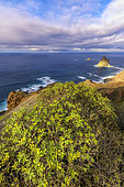 Landscape of the Anaga peninsula, on the island of Tenerife in the Canaries. Balsam spurge (Euphorbia balsamifera) in the foreground, at the bottom the protected islet of Roques de Anaga - Parque Rural de Anaga - Tenerife - Canary Islands