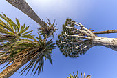 Canary Palms (Phoenix canariensis) and Dragon Tree (Dracaena draco). These two species are emblematic of the Canary Islands, Rambla de Castro, Tenerife Island, Canary Islands.