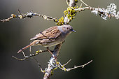 Dunnock (Prunella modularis), Adult on a branch of shrub in spring, Country garden, Lorraine, France