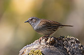 Dunnock (Prunella modularis), Adult on a stump of dead wood in spring, Country garden, Lorraine, France