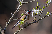 Goldfinch (Carduelis carduelis), Male on a branch of a flowering shrub in spring, Country Garden, Lorraine, France