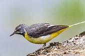 Grey Wagtail (Motacilla cinerea) on the ground in summer, Lot, France