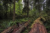 Dense vegetation, rainforest in Cathedral Grove, Pacific Rim National Park, Vancouver Island, British Columbia, Canada, North America