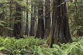 Cathedral Grove, Pacific Rim National Park, Vancouver Island, British Columbia, Canada, North America