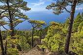 Canary pines on the island of El Herrio. Canary Island pine (Pinus canariensis) is a magnificent endemic species of the archipelago, very resistant to fire and colonizing bare volcanic soils, as here above the huge collapse zone of El Julan, on the island from El Herrio
