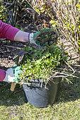 Manual weeding of a flowerbed in spring, Pas de Calais, France