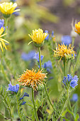 Pot marigold (Calendula officinalis) and Vipersbugloss (Echium sp) in bloom in a garden in summer, Moselle, France