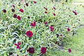 Zinnias (Zinnia sp) in bloom in a garden in summer, Moselle, France