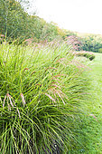 Golden Oat (Stipa gigantea) in a garden in autumn, Somme, France