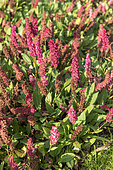 Himalayan Knotweed (Persicaria affinis) 'Lowndes Variety' in bloom in autumn, Somme, France