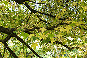 Sweetgum (Liquidambar styraciflua) 'pendula' in autumn, Somme, France