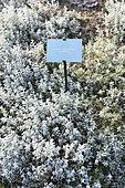 Snow in summer (Cerastium tomentosum) 'Columnae' in a garden in autumn, Somme, France