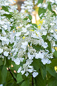 Panicled hydrangea (Hydrangea paniculata) 'Siebold' in flower in summer, Moselle, France