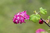 Flower of Blood currant (Ribes sanguineum) in a garden in spring, Pas de Calais, France