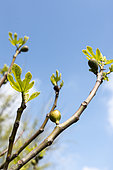 Edible fig (Ficus carica) in fruit in a garden in spring, Normandy, France