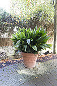 Cannon-ball Plant (Aspidistra elatior) in a pot in autumn, Germany