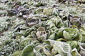 Frozen salads in a vegetable garden in winter, Moselle, France