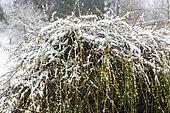 Winter Jasmine (Jasminum nudiflorum) covered in snow in winter, Moselle, France