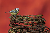 Blue tit (Cyanistes caeruleus) perched on barbed wire, England