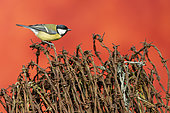 Great Tit (Parus major) perched on barbed wire, England