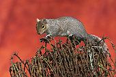 Grey squirrel (Sciurus carolinensis) on top of rusty barbed wire, Angleterre