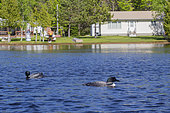 Common Loon (Gavia immer), pair on a lake, Michigan, USA