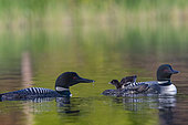Common Loon (Gavia immer), on a lake, parents with a baby on the back, Michigan, USA