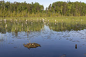 Common Loon (Gavia immer), nest on a lake, Michigan, USA