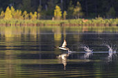 Common Loon (Gavia immer), on a lake, taking of, Michigan, USA