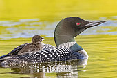 Common Loon (Gavia immer), on a lake, parent with a baby on the back, Michigan, USA
