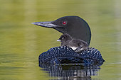 Common Loon (Gavia immer), on a lake, parents with a baby on the back, feeding with a small fish, Michigan, USA