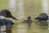 Common Loon (Gavia immer), on a lake, parents with a baby, feeding with a small fish, Michigan,