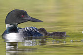 Common Loon (Gavia immer), on a lake, parents with a baby, feeding with a small fish, Michigan, USA