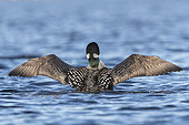 Common Loon (Gavia immer), wing flapping on a lake, Michigan, USA