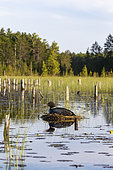 Common Loon (Gavia immer), at nest on a lake, Michigan, USA