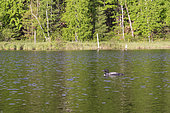 Common Loon (Gavia immer), on a lake, Michigan, USA