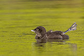 Common Loon (Gavia immer), on a lake, baby, Michigan, USA