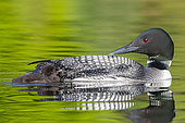 Common Loon (Gavia immer), on a lake, parent with a baby, Michigan, USA