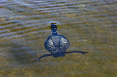 Common Loon (Gavia immer), on a lake, diving underwater, Michigan, USA