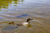 Common Loon (Gavia immer), on a lake, parents with a baby, diving underwater, Michigan, USA